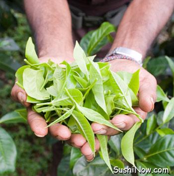 Freshly picked tea leaves from the camellia sinensis shrub