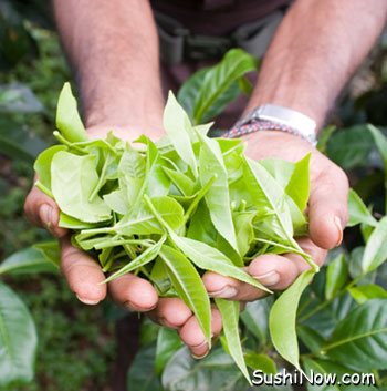 Freshly picked tea leaves from the camellia sinensis shrub