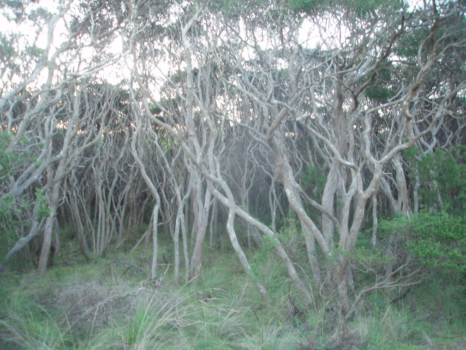 Can't see the wood for the trees? Moonah Woodland along the coastal path.