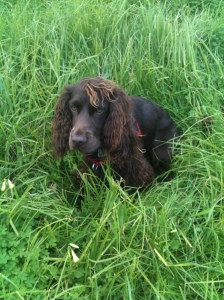 Half Field Spaniel, Bertie loves being in the grass